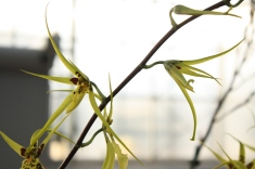 Brassidium Gilded Urchin 'Halo'
