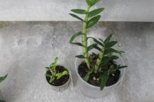 Small Dendrobium grown by Smithsonian Gardens compared to a larger one grown by Atlanta Botanical Garden