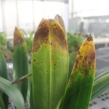 Leaf tip burn on Masdevallia orchid