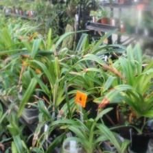 Leaf tip burn on Phragmipedium orchids