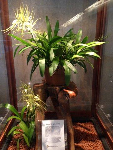 Brassia Rex 'Sakata'