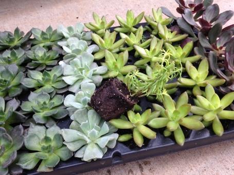 Succulent plugs 2