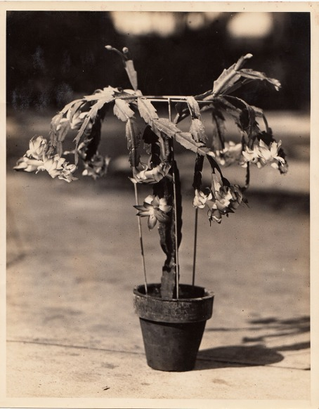 Old photo of a grafted Christmas cactus in a pot