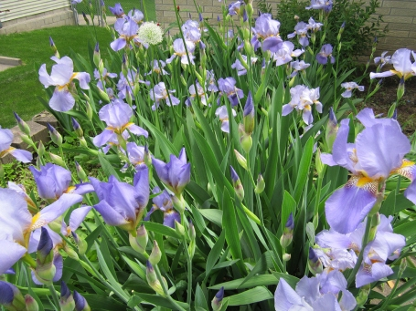 Light purple iris in a garden bed