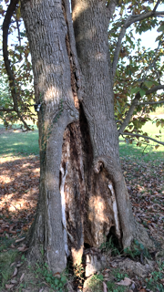 Sapwood Damage
