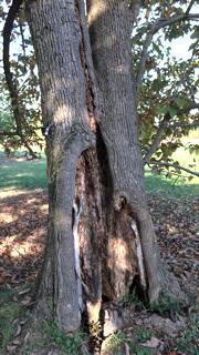 Sapwood Damage