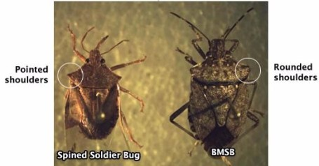Spined Soldier Bug next to BMSB