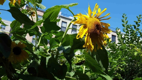 Sunflowers growing in community garden.