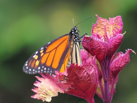 Monarch butterfly on coleus plant
